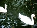 Art by Nicole Kudera, Ghost Swans
