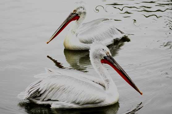 Art by Nicole Kudera, Pelicans