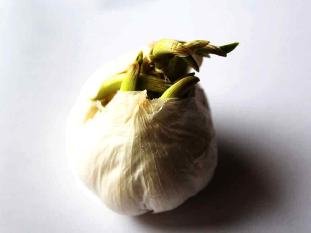 Art by Nicole Kudera, Garlic Sprout