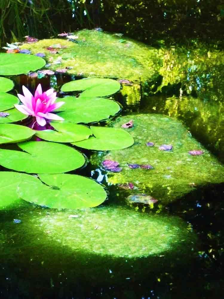 Art by Nicole Kudera, Water Lily