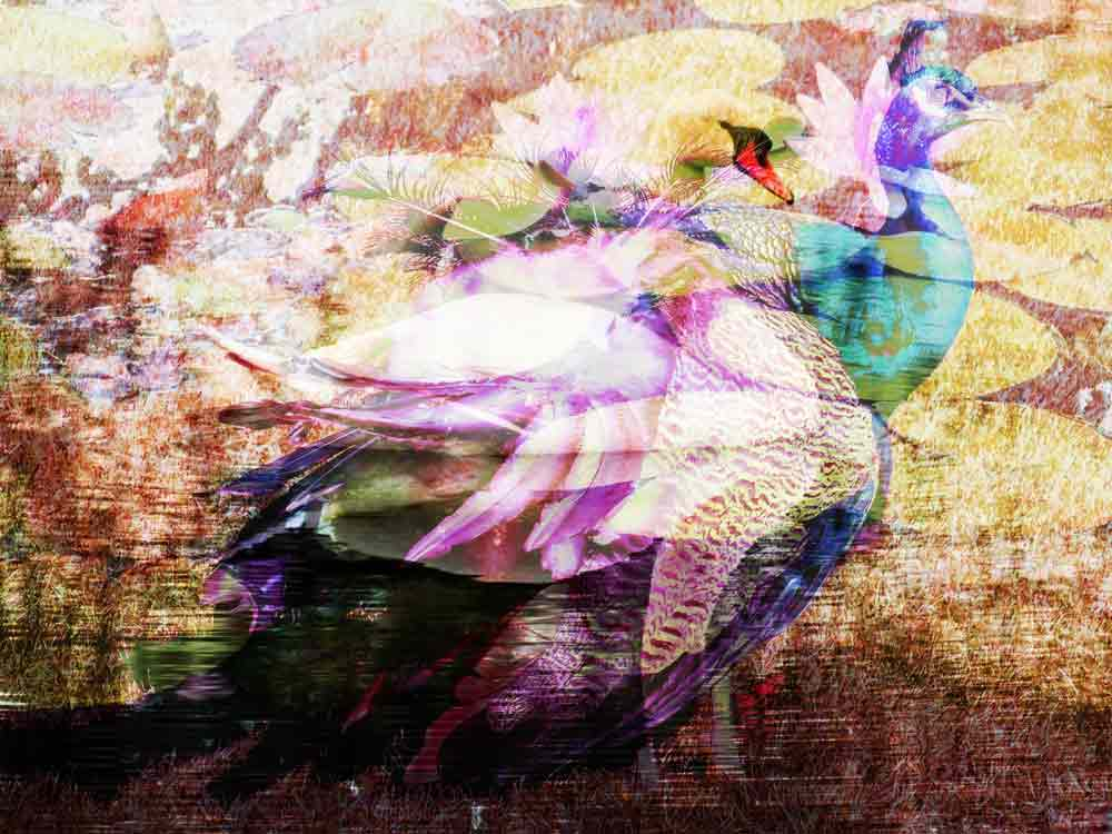 Art by Nicole Kudera, Swan With Peacock Identity