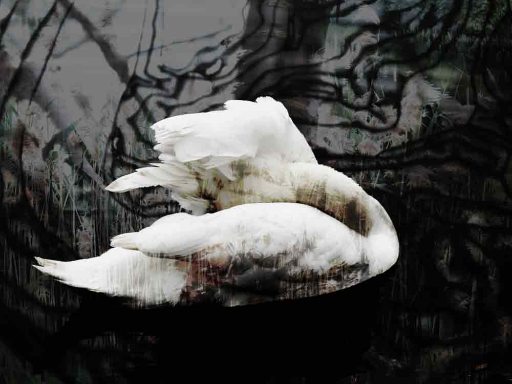 Art by Nicole Kudera, Swan Dreaming About Dreaming